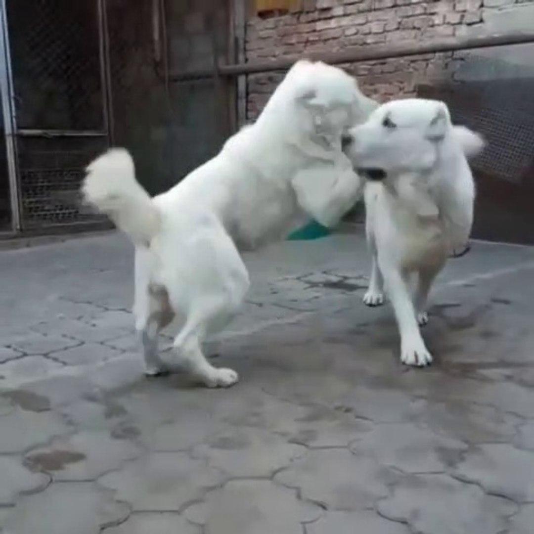 ALABAY COBAN KOPEKLERiNDEN CiLVELESME - ALABAi SHEPHERD DOGS