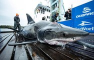 Un requin blanc énorme s'est fait croquer la tête par un prédateur encore plus grand