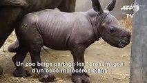 Naissance d'un rhinocéros blanc dans un zoo en Belgique