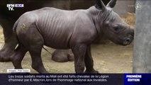Image rarissime ! Ce petit rhinocéros blanc en voie de disparition vient de naître en Belgique