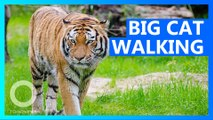 India tiger searches for prey, mate in longest walk ever