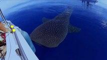 Rare rencontre avec un requin-baleine au large de La Réunion