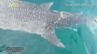 Shark Rescue! Malaysian Fishermen Work To Free Whale Shark Tangled In Rope!