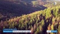 Réchauffement climatique : menace sur le sapin des Vosges