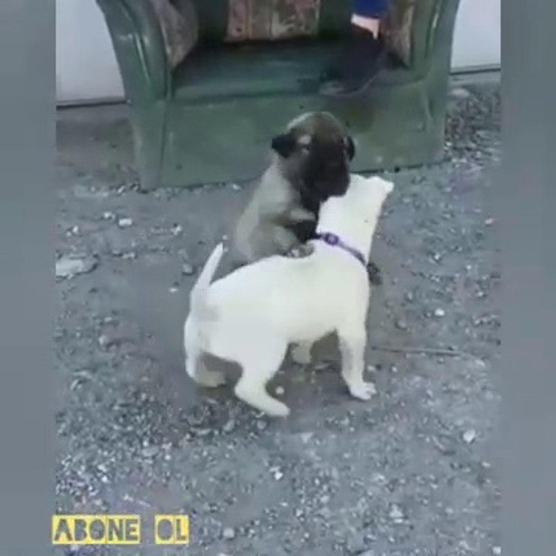 SiVAS KANGAL KOPEGi YAVRUSU vs PiTBULL YAVRUSU - KANGAL DOG PUPPY vs PiTBULL TERRiER