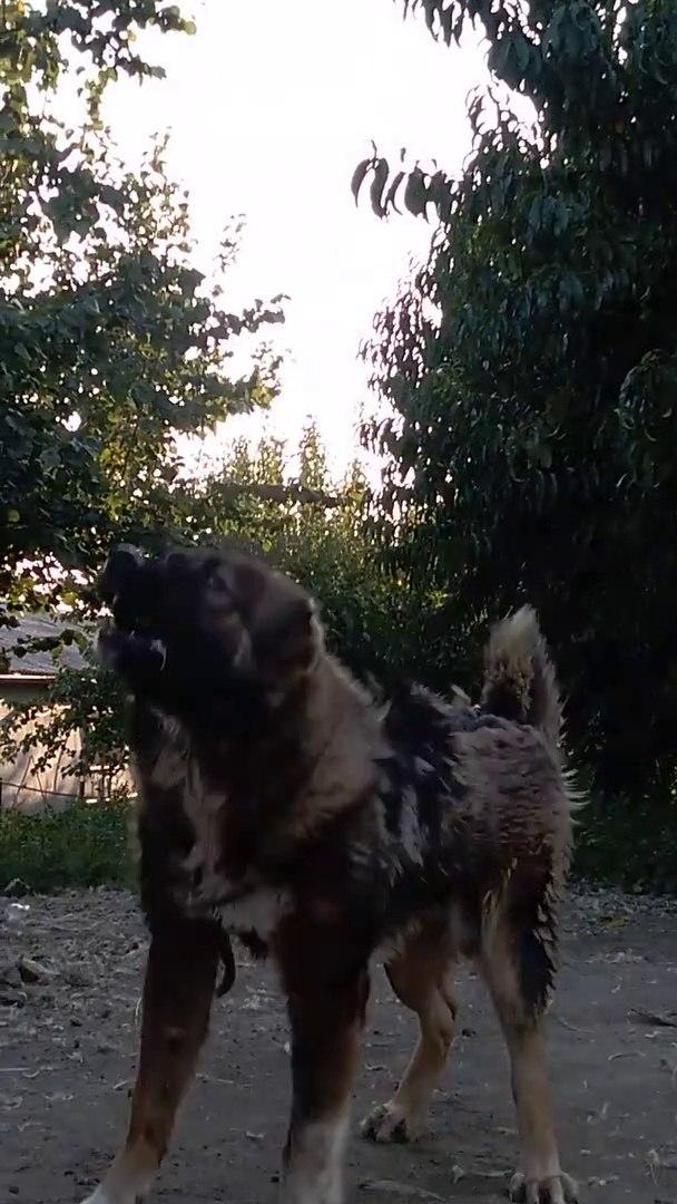 BAHCEDE ADAMCI KAFKAS COBAN KOPEGi - CAUCASiAN SHEPHERD DOG at GARDEN