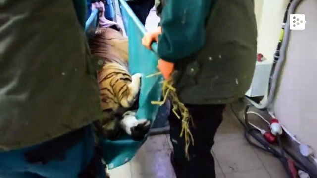 Five rescued tigers will arrive in Spain from Poland