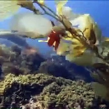 Free Stock Footage Garibaldi Fish