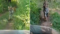Tiger chases tourist jeep in Ranthambore | Oneindia Malayalam