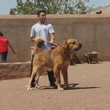 ALABAY ve iRAN COBAN KOPEGi ATISMA - ALABAi and PERSiAN SHEPHERD DOG VS