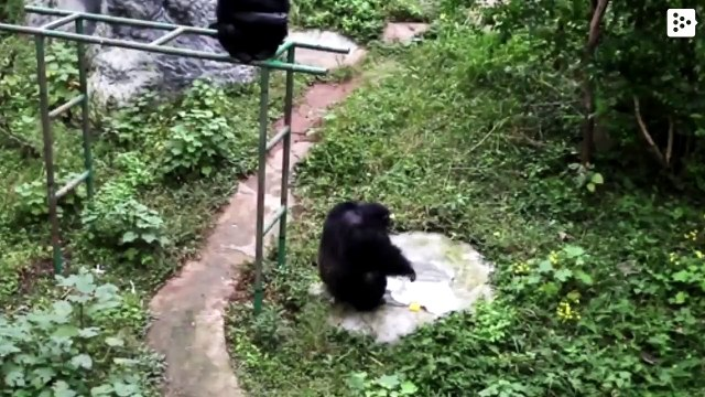 A chimpanzee washes his caregiver's clothes in a zoo