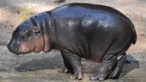 This Adorable Baby Pygmy Hippo Needs A Name
