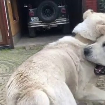 TURKMEN ALABAY COBAN KOPEKELRi BAHCEDE - ALABAi SHEPHERD DOG at GARDEN