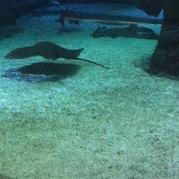 Real Sting Ray shark swimming aqua tank Hong kong ocean park 魔鬼魚鯊魚香港海洋公園