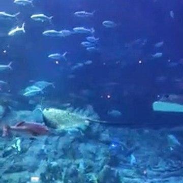 Ocean Park Real Sting Ray Fish and sharks Great Aqua tank Hong Kong 2019