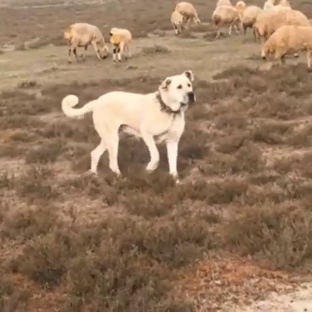DiSi ANADOLU COBAN KOPEGi KOYUN NOBETiNDE - FAMELA ANATOLiAN SHEPHERD DOG SHEEPS at MiSSiON