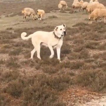 DiSi ANADOLU COBAN KOPEGi KOYUN NOBETiNDE - FAMELA ANATOLiAN SHEPHERD DOG SHEEPS at MiSSiON
