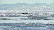 Des phoques du Groenland encore dans nos régions
