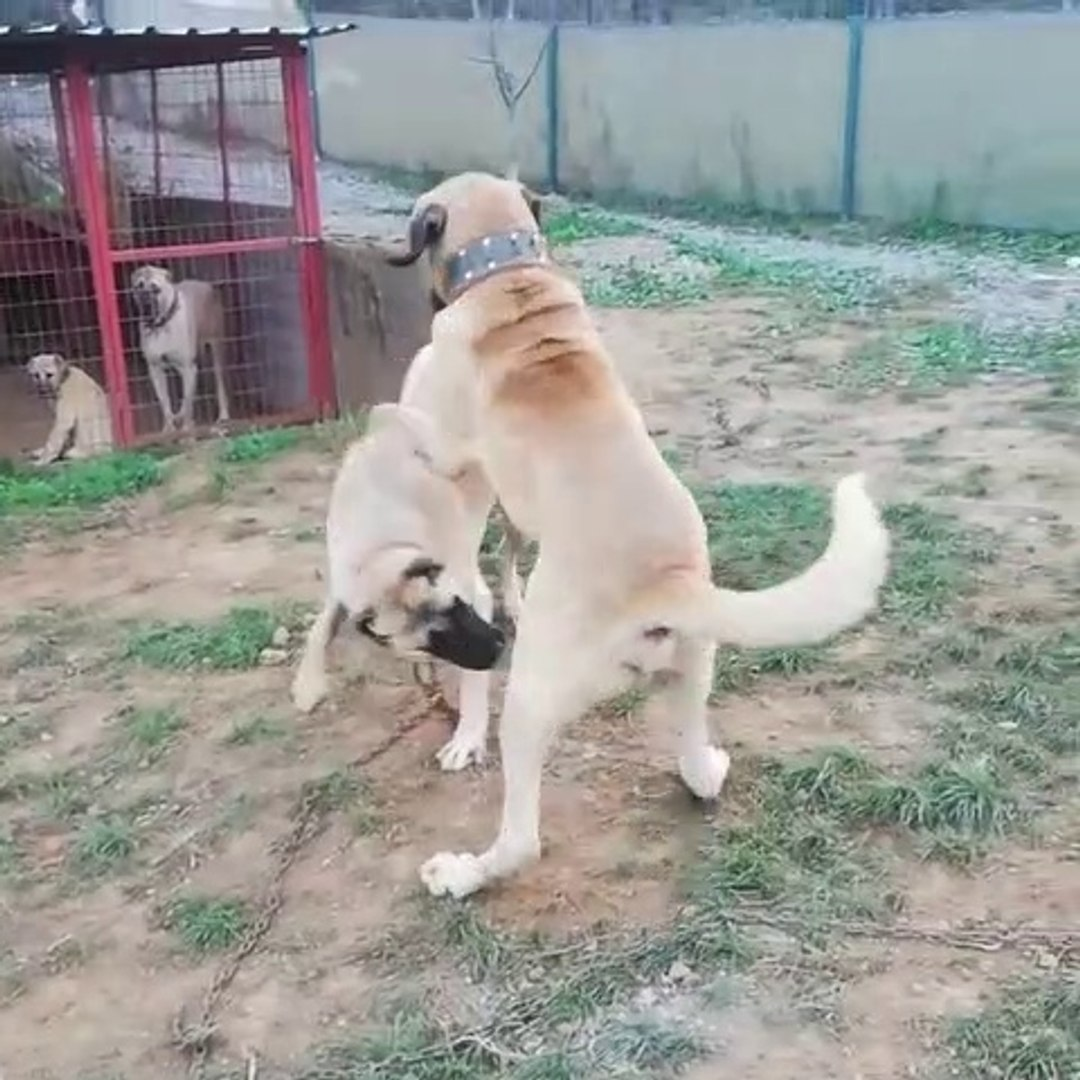 ANADOLU COBAN KOPEKLERiNiN SEViMLi OYUNLARI - ANATOLiAN SHEPHERD DOG CUTE PLAYS