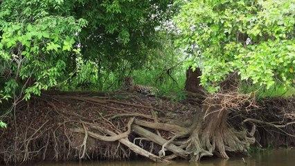 Jaguar descansando plácidamente entre la espesura de la selva