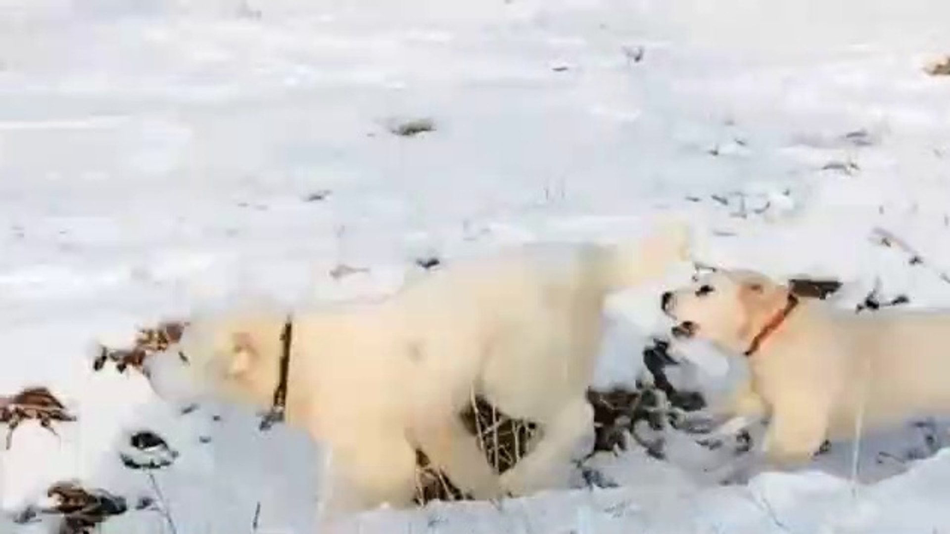 TURKMEN ALABAY COBAN KOPEKLERiNiN KAR KEYFi - ALABAi SHEPHERD DOGS at PLAY SNOW