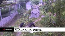 ویدئو؛ یک شامپانزه ۱۸ ساله در چین با علاقه لباس میشوید