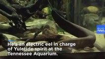 Electric eel lights up aquarium Christmas tree