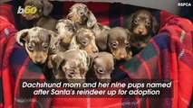 Nine Adorable Dachshund Puppies Named After Santa's Reindeer