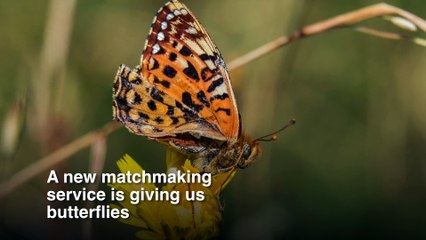 Conservation Breakthrough for Endangered Butterfly