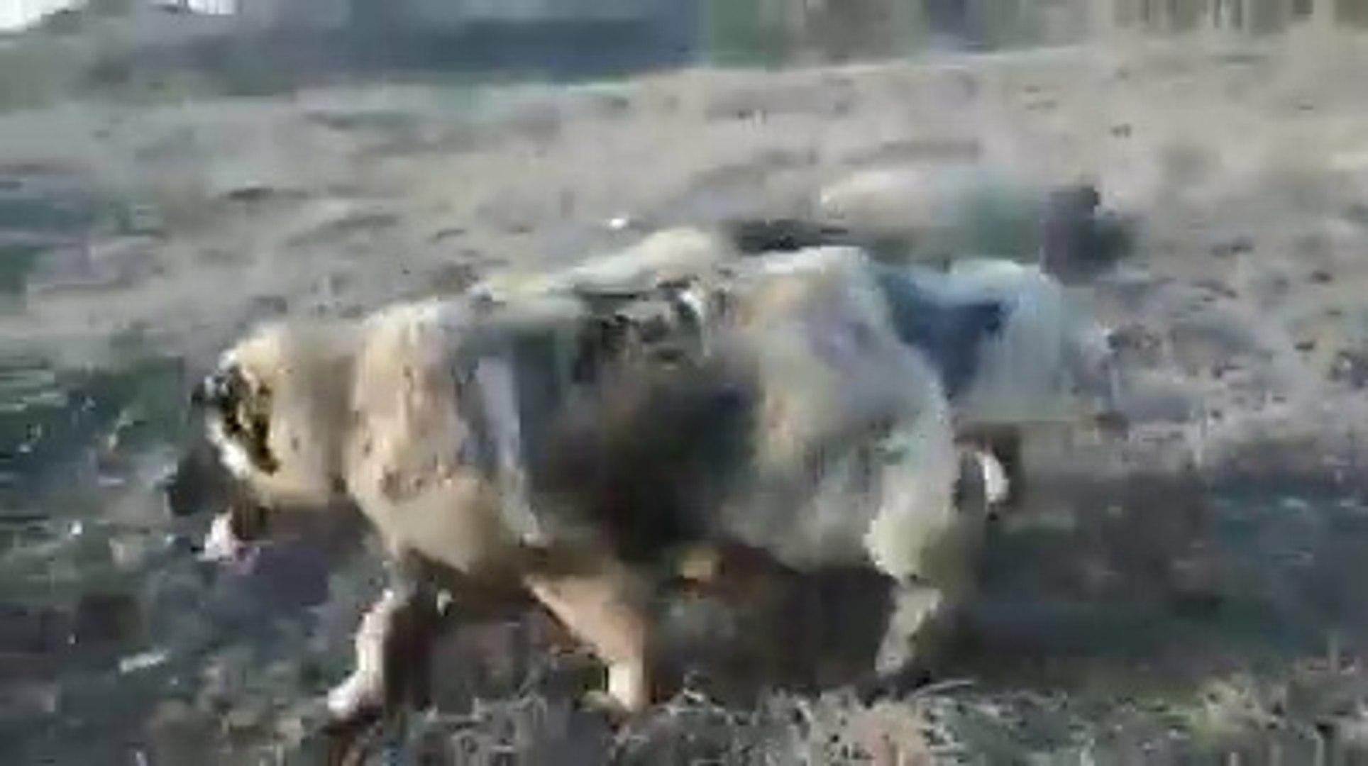 KAFKAS COBAN KOPEKLERiNDEN OGLEN SPORU - CAUCASiAN SHEPHERD DOGS EXERCiSE