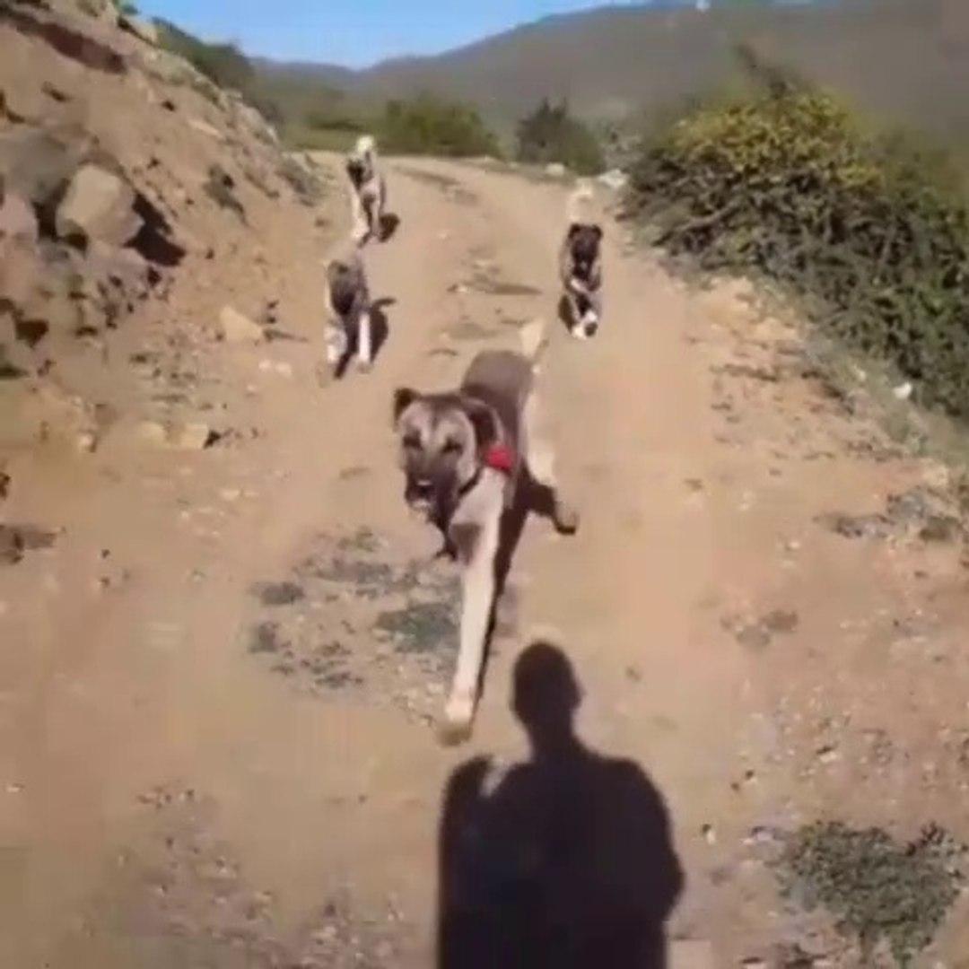 SiVAS KANGAL KÖPEKLERi ile OGLEN GEZiNTiSi - KANGAL DOGS NOON WALK