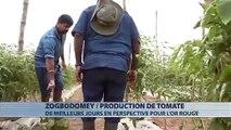 A la découverte d'une plantation de tomate à Zogbodomey ( BÉNIN)