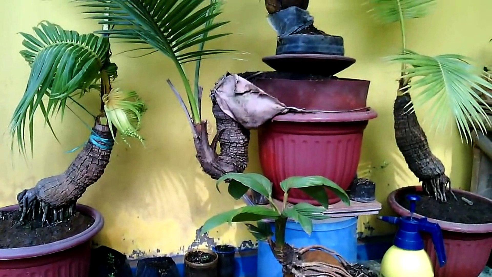 Bonsai Kelapa 30thn Paling Unik Coconut Bonsai Video Dailymotion