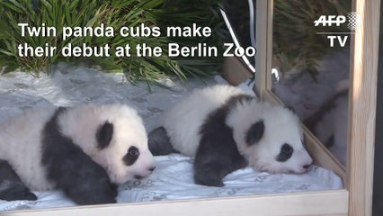 Boy oh boy! Twin male pandas charm Berlin zoo