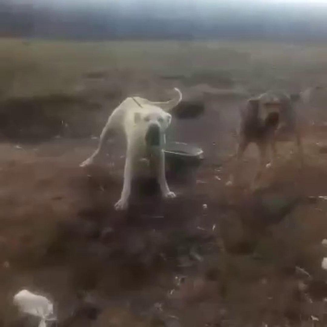 SABAH SABAH ANADOLU COBAN KOPEKLERiNi KIZDIRMAK - VERY ANGRY ANATOLiAN SHEPHERD DOGS