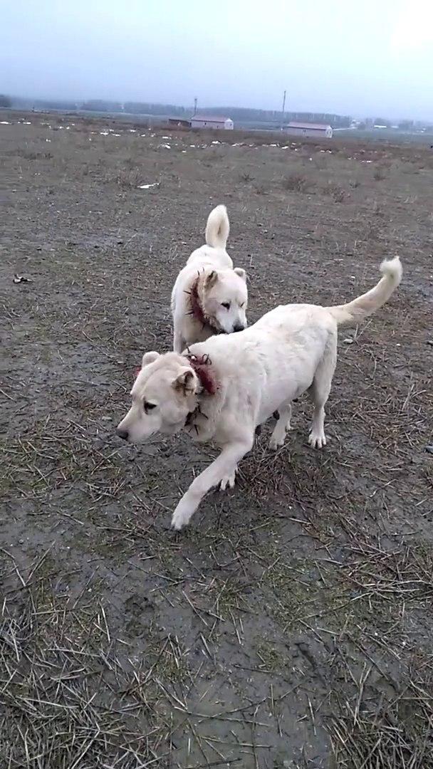 AKBAS COBAN KOPEKLERi GOREVLERi BASINDA - AKBASH SHEPHERD DOG at MiSSiON