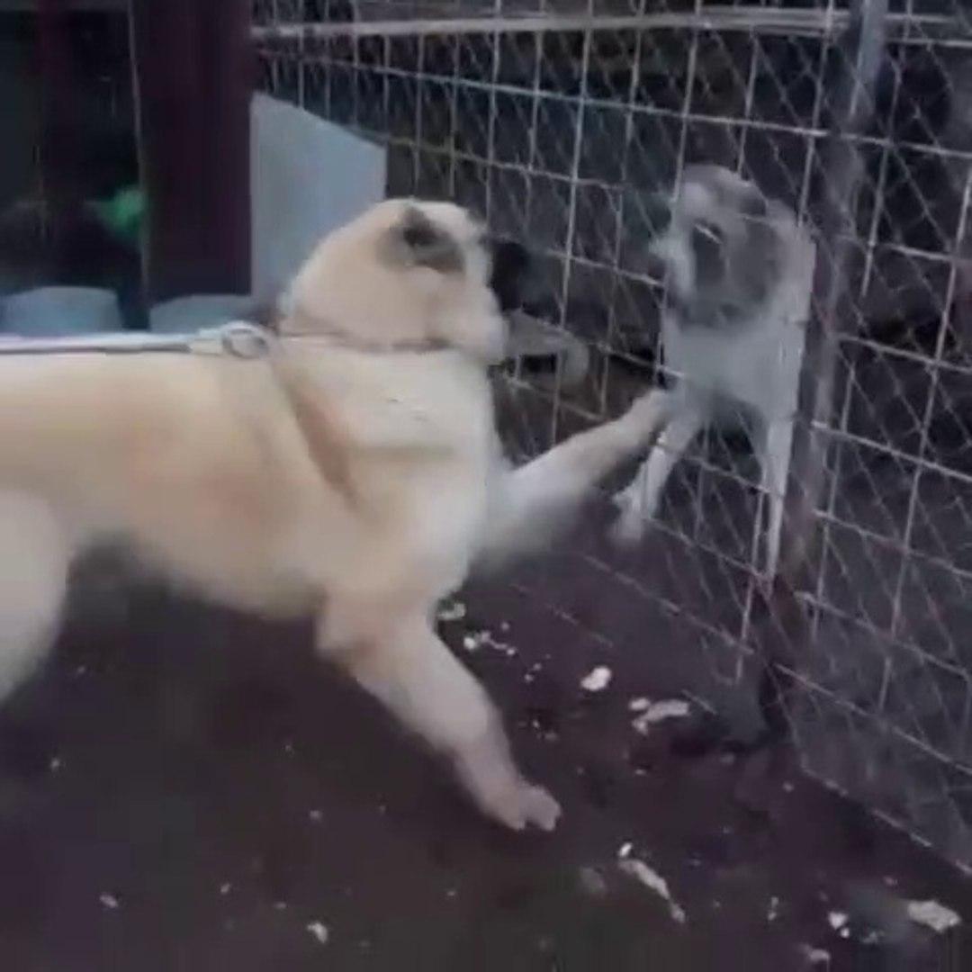 ANADOLU COBAN KOPEKLERiNDEN YAKIN ATISMA - ANATOLiAN SHEPHERD DOG NEAR vs