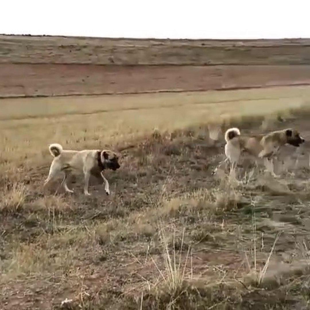 SiVAS KANGAL KOPEKLERi GOREVE DEVAM - KANGAL DOGS at MiSSiON