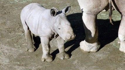 The Future Looks Bright - Rhino Calf Named Future