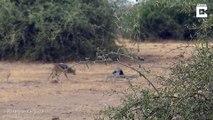 3 animaux s'attaquent à un énorme serpent Python en pleine savane !