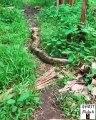 Ce paresseux est ami avec un serpent anaconda géant !