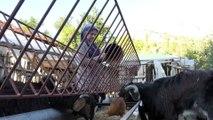 Keçilerle iç içe yaşam süren Elmalılı Rabia'nın hayali veterinerlik - ANTALYA