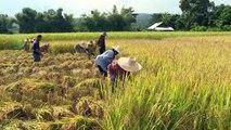 Arroser moins pour récolter plus de riz et lutter contre le changement climatique