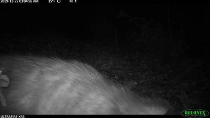 Regardez comment cet opossum transporte des feuilles pour faire son nid