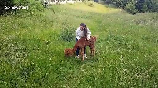 Hide and seek alpaca is playful in Romania