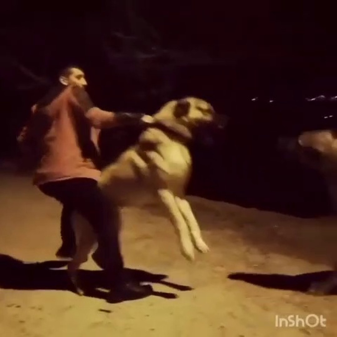 GECE GECE DEV ANADOLU COBAN KOPEKLERi VS - ANGRY ANATOLiAN SHEPHERD DOG VS at NiGHT