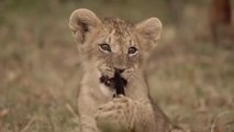 Grandes felinos 1- Masai Mara - DOCUMENTALES DE ANIMALES - ANIMALES SALVAJES - DOCUMENTAL DE ANIMALES,DOCUMENTALES,DOCUMENTALES 2018,documentales interesantes,DOCUMENTALES 2019,DOCUMENTAL,DOCUMENTALES COMPLETOS EN ESPAÑOL,documentales en español
