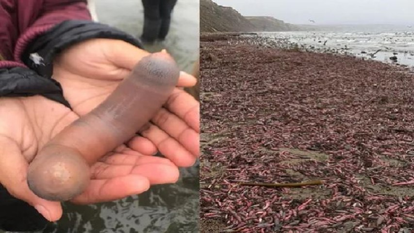 Thousands of 'Penis Fish' wash ashore on California beach