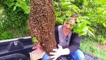 Cet apiculteur vient récupérer un magnifique essaim d'abeilles dans un arbre