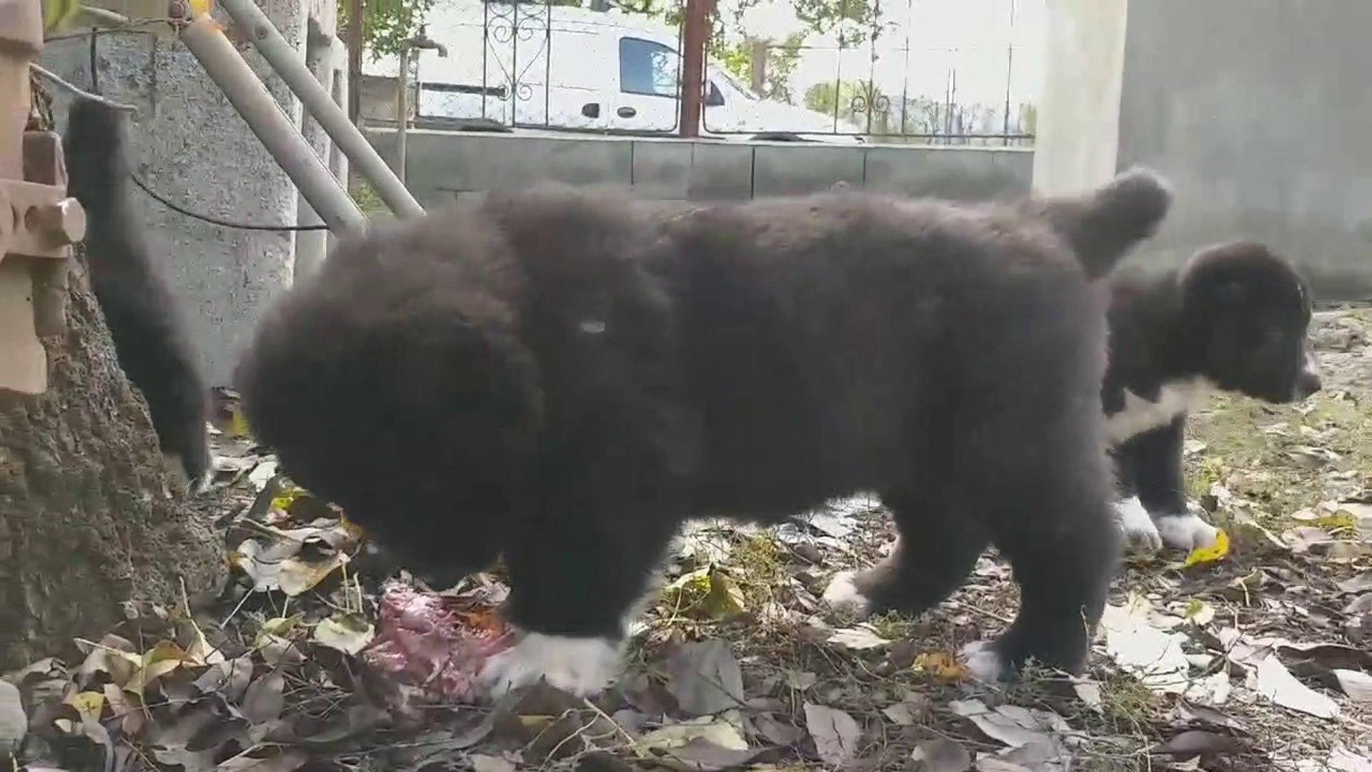 KARA ALABAY COBAN KOPEGi YAVRUSU SABAH KAHVALTISI ET - BLACK ALABAi SHEPHERD DOG PUPPY EAT at BREAKF